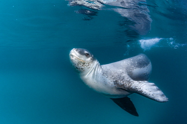 Leopard seal (Hydrurga leptonyx), Antarctic Peninsula, Antarctica.