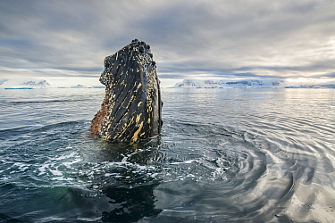 Humpback whale (Megaptera novaeangliae) spyhoping, Antarctic Peninsula, Antarctica.