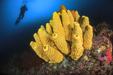 Sponge (Mycale acerata) with diver. Lermaire strait, Antarctic Peninsula, Antarctica.