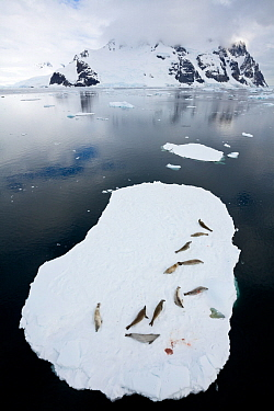 Crabeater seals (Lobodon carcinophaga) resting on ice floating ice sheet, Antarctic Peninsula, Antarctica.