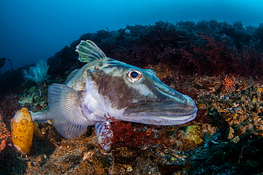 Crocodile icefish or White-blooded fish (Channichthyidae), Antarctic Peninsula, Antarctica.
