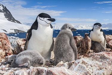 Chinstrap penguin (Pygoscelis antarcticus) with chicks, Antarctic Peninsula, Antarctica.