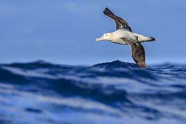 Wandering albatross (Diomedea exulans) flying on the open ocean, Drake passage, Antarctic Peninsula, Antarctica.