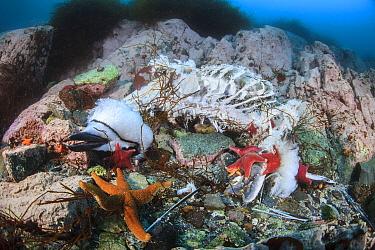 Chinstrap penguin (Pygoscelis antarcticus) carcass after leopard seal attack, Antarctic Peninsula, Antarctica.