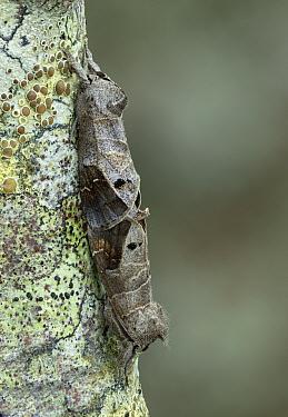 Scarce chocolate tip moth (Clostera anachoreta) Turzovka, Cadca district, Slovakia.