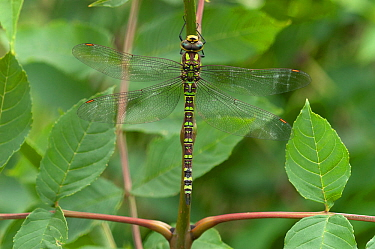 Southern hawker dragonfly (Aeshna cyanea) Hampshire, England, UK. July.