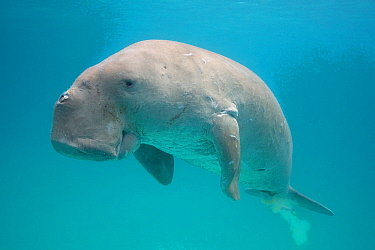 Dugong or Sea cow (Dugong dugon) with a Remora (Echeneis naucrates) attached to its underside, Calauit Island, off Busuanga, Calamian Islands, Palawan, Philippines.