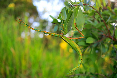 Goliath Stick Insect (Eurycnema goliath) adult female camouflaged, Cooktown, Far North Qld, Australia. Wet Season.