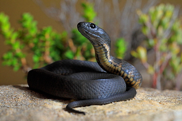 Kangaroo Island Tiger Snake (Notechis ater) hatchling, Baudin Beach, Kangaroo Island, South Australia, autumn.