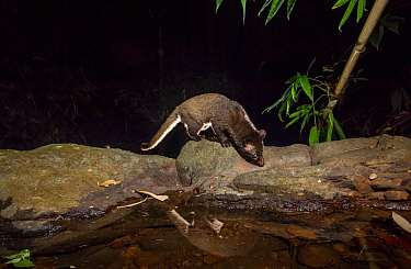 Brown / Jerdon's palm civet (Paradoxurus jerdoni) Western Ghats , Karnataka, India. Endemic. Camera trap image.
