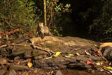 Small Indian civet (Viverricula indica) Western-ghats , Karantaka India. Camera trap image.