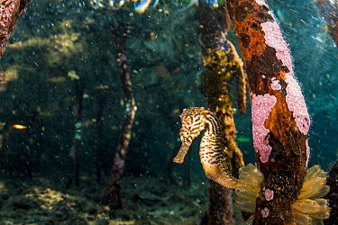 Lined seahorse (Hippocampus erectus) holding onto a red mangrove root in a land locked alakaline lagoon on Eleuthera, Bahamas.