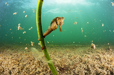 Lined seahorse (Hippocampus erectus) holding onto a red mangrove shoot in a land locked alakaline lagoon on Eleuthera, Bahamas.