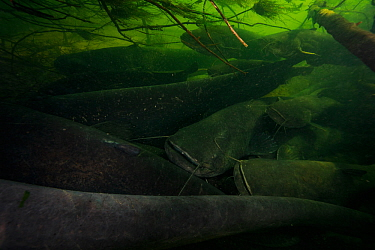 Wels catfish (Silurus glanis) group gathered in river bed. Loire river, France. November.