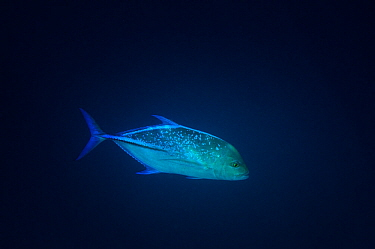 Bluefin Trevally (Caranx melampygus) in deep water, Komandoo Island, Maldives.
