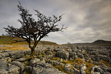 Common Hawthorn (Crataegus monogyna) tree growing out of joints in Carboniferous limestone, Ingleton, Yorkshire, January 2017. The tree has exploited a water enlarged joints or grykes in a limestone p...