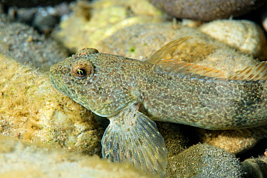 Freshwater goby fish (Gobiidae) Lena River. Goby. Baikalo-Lensky Reserve, Siberia, Russia. August 2018.