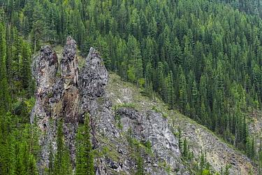 Taiga forest, Lena River. Baikalo-Lensky Reserve, Siberia, Russia. August 2018.