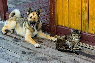 Domestic dog and cat lying on wooden porch. Baikalo-Lensky Reserve, Siberia, Russia. August 2018.