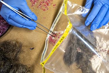 Burmese pythons (Python bivittatus) stomach samples kept fresh in plastic bag with desiccant. Florida, USA, August.
