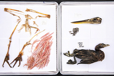 Stomach contents of Burmese pythons (Python bivittatus) are separated and laid out on sheets in order to identify them. Some of the contents seen here from varying snakes are Roseate spoonbill, Pied b...