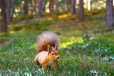 Red squirrel (Sciurus vulgaris) amongst heather in pine woodland.Cairngorms National Park, Scotland, UK, October.