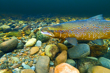 Atlantic salmon (Salmo salar) male on breeding territory in the River Ness, Scotland, UK, January.