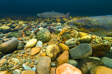Atlantic salmon (Salmo salar) on breeding territory in the River Ness, Scotland, UK, January.