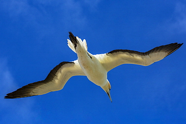 Australasian gannet (Morus serrator) flying over the breeding colony at Cape Kidnappers, Hawke's Bay, North Island, New Zealand.