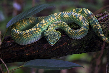 Bornean keeled pit viper (Tropidolaemus subannulatus) in the Sabangau (peat-swamp) Forest, Central Kalimantan, Indonesia.