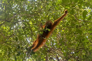 Bornean orangutan (Pongo pygmaeus) juvenile male brachiating through trees, Sabangau (peat-swamp) Forest, Central Kalimantan, Indonesia.