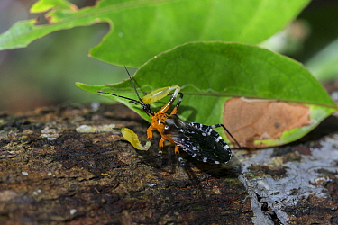 Assassin bug ( Amulius ) with resin on front legs. These assassin bugs coat their arms in tree resin in order to lure insects. Sabangau (peat-swamp) Forest, Central Kalimantan, Indonesia.