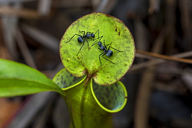 Worker ants (Polyrhachis sp.) on a pitcher plant (Nepenthes gracilis) in the Sabangau (peat-swamp) Forest, Central Kalimantan, Indonesia.
