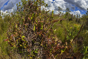 Pitcher plant (Nepenthes gracilis) in the Sabangau (peat-swamp) Forest, Central Kalimantan, Indonesia.