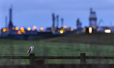 Barn owl (Tyto alba) perched on fence post at dusk, with industrial estates of Teeside in the background. Durham, UK. February