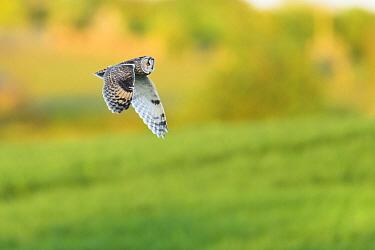 Long-eared Owl (Asio otus) in flight over farmland. Durham, UK. May