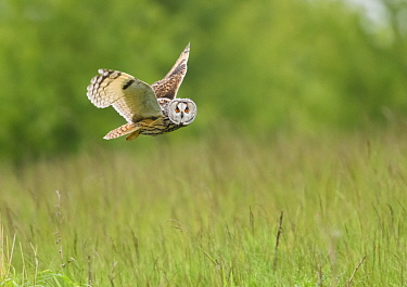 Long-eared Owl (Asio otus) hunting over grassland. Durham, UK. May