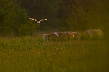 Barn owl (Tyto alba) in flight over marshland at sunset. Suffolk, UK. June. Cropped