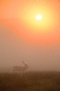 Red deer (Cervus elaphus) stag walking through the mist at sunrise. Richmond Park, London. September