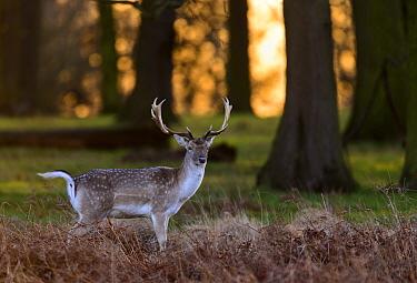 Fallow deer (Dama dama) stag standing in bracken at sunrise. Richmond Park, London, UK. January