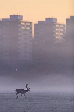 Fallow deer (Dama dama) stag walking across frost-covered playing fields at sunrise with tower blocks of London in the background. Richmond Park, London, UK. December