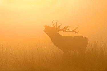 Red deer (Cervus elaphus) stag roaring in the mist, silhouetted, backlit at sunrise. Richmond Park, London, UK. October