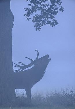 Red deer (Cervus elaphus) stag silhouetted, roaring in the mist before sunrise. Richmond Park, London. September