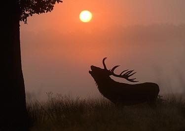Red Deer (Cervus elaphus) stag roaring silhouetted in grassland at sunrise. Richmond Park, London. September