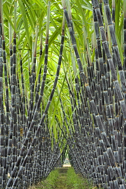 Black sugar cane (Saccharum officinarum) cultivated for sucrose in the stem, obtained by crushing. China.