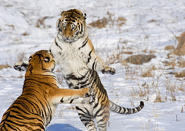 Amur / Siberian tiger (Panthera tigris altaica), two sparring in snow. Captive in tiger park, Heilongjiang Province, China. February.
