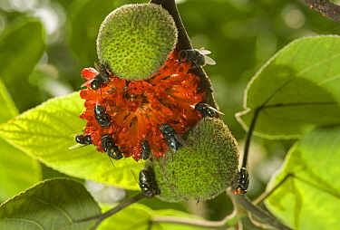 Flies (Diptera) feeding on Paper mulberry (Broussonetia papyrifera) fruit. Riverside Park beside Yangtze River, China.