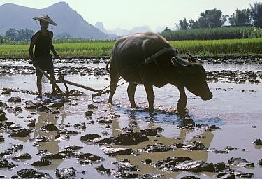 Chinese farmer wearing traditional bamboo hat ploughing flooded Rice (Oryza sativa) paddy with Water buffalo (Bubalus bubalis). Xingping, Nr Guilin, Guangxi Zhuang Autonomous Region, China. October 19...