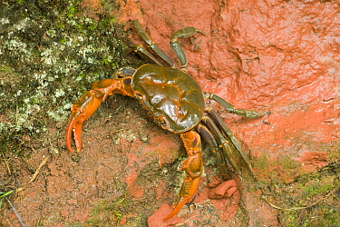 Land crab crawling on red sandstone after overnight storm. Shunan Zhuhai National Park, Sichuan Province, China.