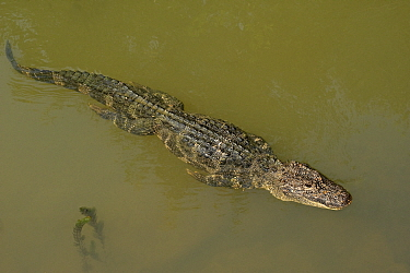Chinese alligator (Alligator sinensis) swimming in Yangtze, streamline with legs pressed against body. Critically endangered species with captive breeding programme in Anhui Province, China. 2009